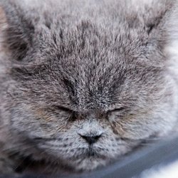 gallery expocat 2013: british shorthair cats