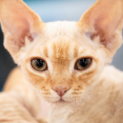 gallery expocat 2013: devon & cornish rex cats