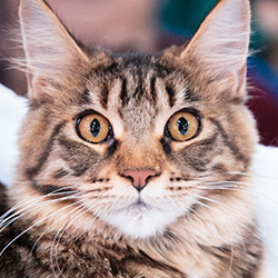 gallery expocat 2013: maine coon cats