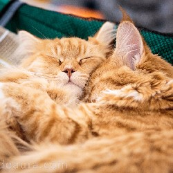 thumbnail 17 red maine coon