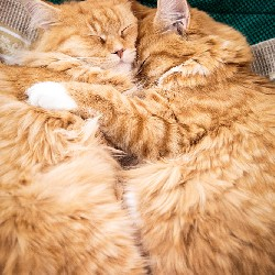 thumbnail 18 red maine coon