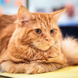 thumbnail 21 red maine coon