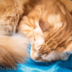 thumbnail 22 red maine coon