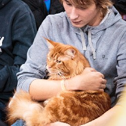 thumbnail 24 red maine coon