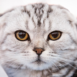 gallery expocat 2013: scottish fold cats