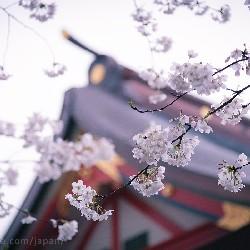 сакура у храма